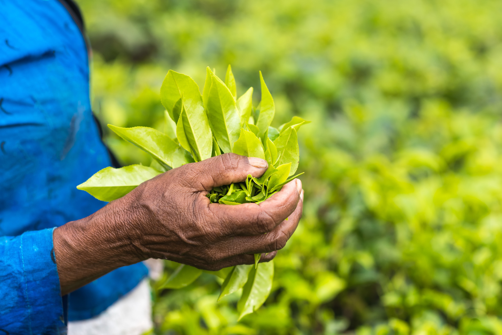 Fresh tea leafs in woman's hand, at tea garden